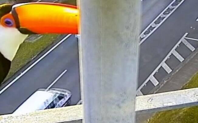 Vídeo: Câmera flagra tucano na rodovia Adalberto Panzan, em Campinas