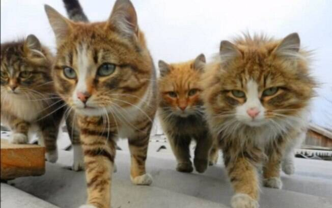 Gatos siberianos criados por fazendeiros russos chamam atenção nas redes sociais pela quantidade de felinos vivendo juntos