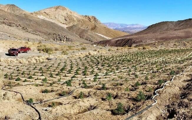 1,2 mil pés de maconha no deserto do Atacama
