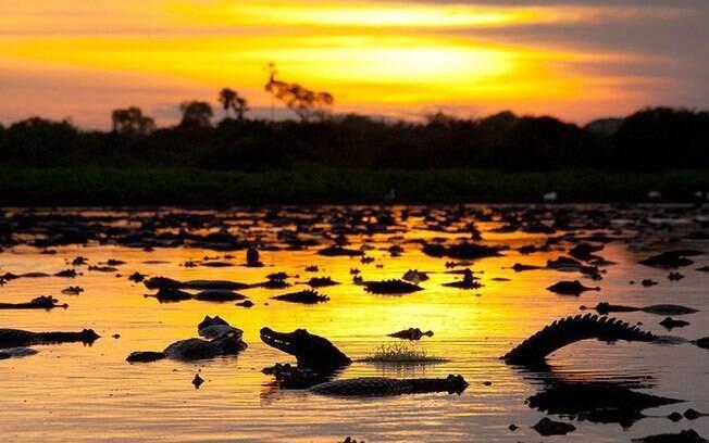Jacarés no Pantanal Matogrossense: biodiversidade brasileira, considerada uma das maiores do mundo, fica protegida, para gerar benefícios no próprio país