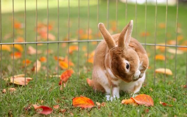 Ao se lamber, o coelho ingere vários fios que podem formar bola de pelos no estômago