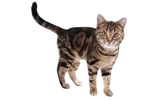 Gato abanando o rabo: entenda o que seu felino quer dizer