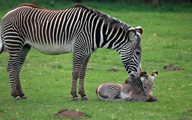 Zebra atravessa rio com crocodilos
