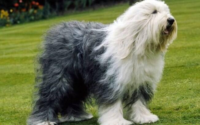 Old English Sheepdog é um cachorro grande, fofo e muito carinhoso