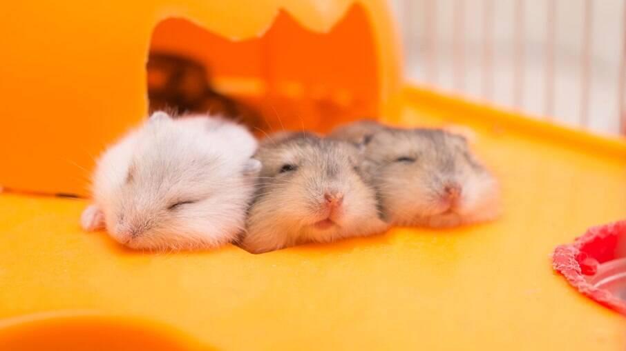 Os hamsters são alguns dos roedores de estimação mais famosos