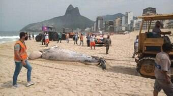 Baleia jubarte é achada morta na Praia do Leblon
