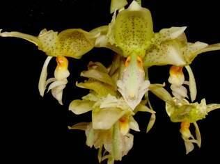 A orquídea Stanhopea é rara e tem formato semelhante ao de um passarinho