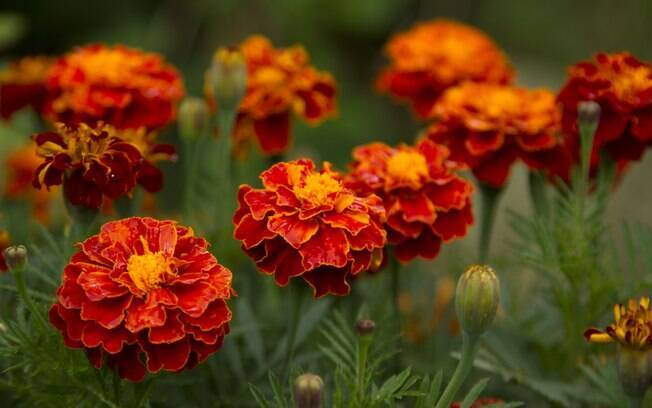 O tagete reúne elegância, cor e tranquilidade. A flor é recomendada para quem pensa em ter um jardim perfeito