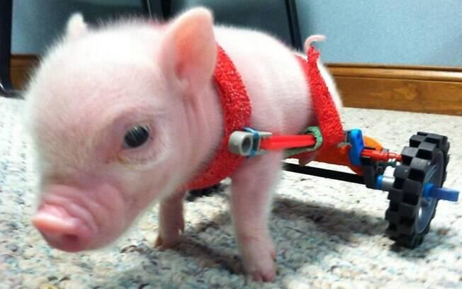 Porquinho na cadeira de rodas doada por organização que ajuda animais com dificuldade de locomoção