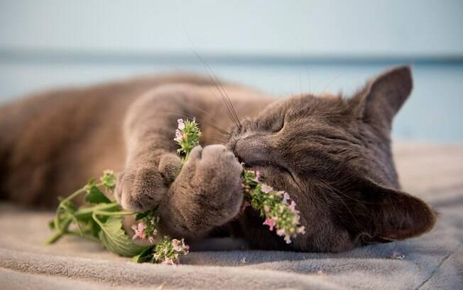 A erva de gatos deixa o bichanos mais felizes e relaxados.