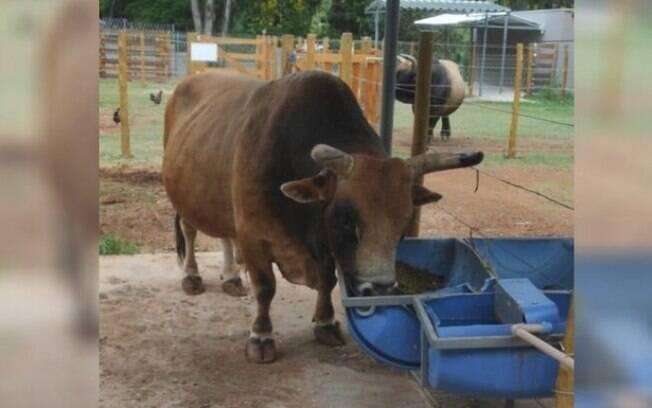 Professor fica ferido após ser atingido por touro em Americana