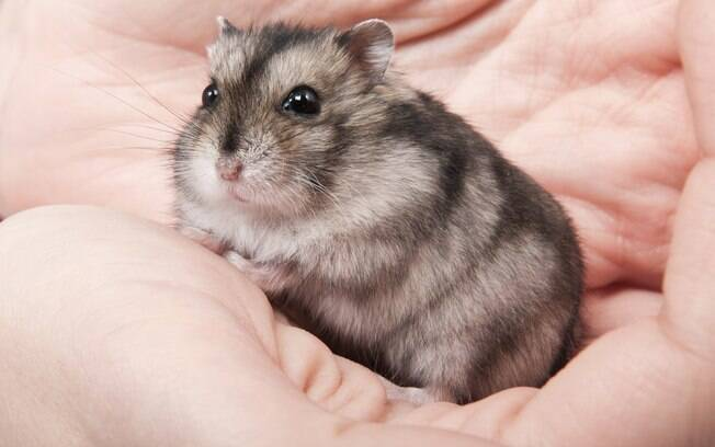 Hamster anão russo winter white