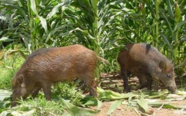Javaporco, ou Porco Feral, é uma espécie invasora, não natural do Brasil. Com postura muito agressiva,  causa grandes prejuízos ao produtor rural ao destruir plantações e ser um vetor de doenças