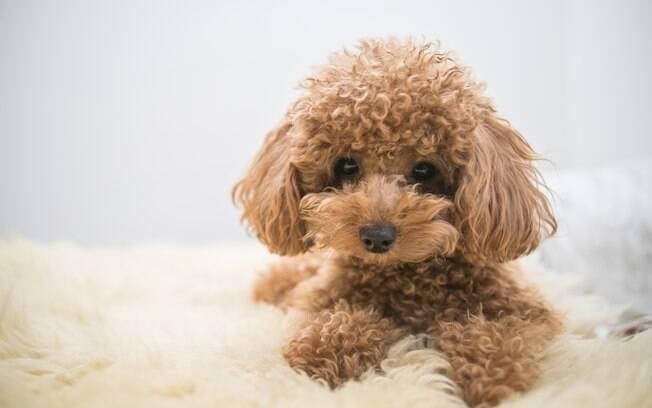 O Poodle Toy é o Poodle que não cresce muito