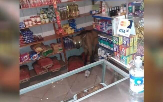 Lobo-guará ficou assustado após entrar em padaria.