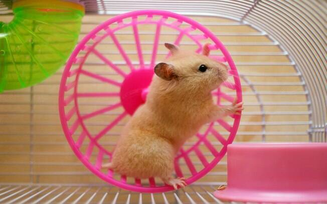 Além de estar limpa, a gaiola deve oferecer espaço para o hamster se esconder e se exercitar