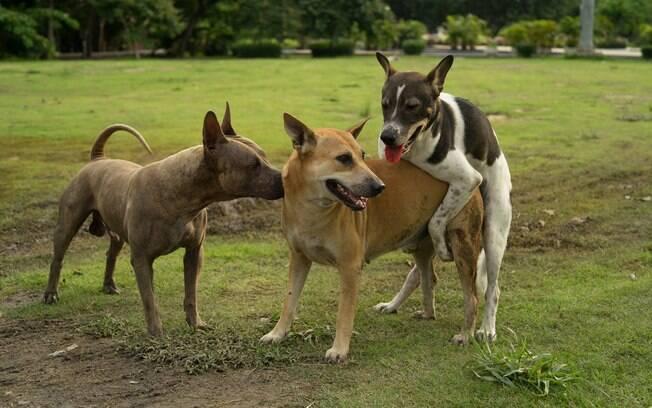 Uma cadela montar outra cadela não é um comportamento tão comum, mas pode ser visto em casas que possuem duas fêmeas