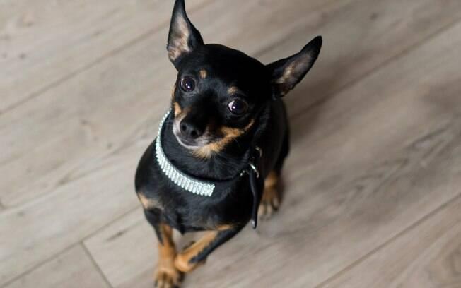 O cão da raça pinscher é um bom pet? Descubra