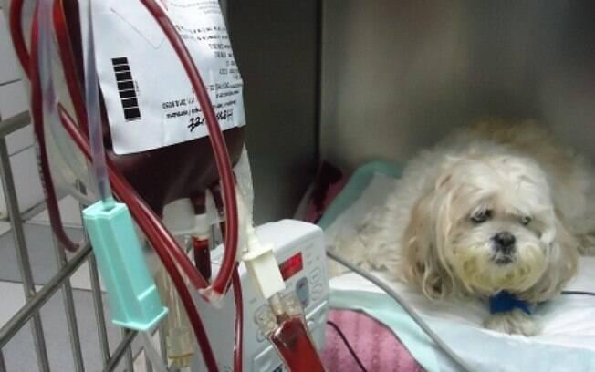 Transfusão de sangue: saiba quando o pet deve passar por isso