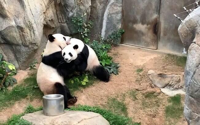 Ying Ying e Le Le aproveitaram a privacidade para acasalar pela primeira vez em dez anos