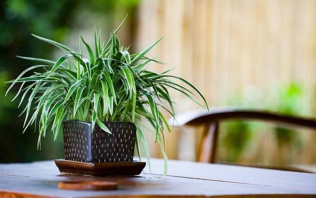 De crescimento rápido, o clorofito pode ser usado de diversas formas e remove até 90% das impurezas do ar em 48 horas