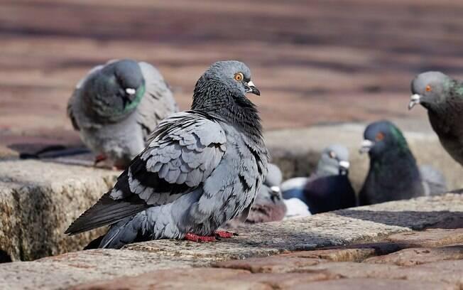 Para controlar a reprodução dos pombos, Santos está cogitando colocar anticoncepcional na comida dos animais.