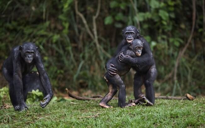 Jovens bonobos se abraçam durante brincadeira em reserva no Congo: comportamento social tem bases genéticas