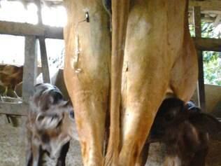 Vaca dá à Luz a bovinos gêmeos em Nossa Senhora de Oliveira