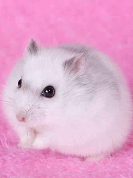 Leve o hamster ao veterinário quando detectar sinais de doença