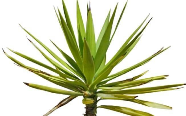 planta iuca se adapta em ambientes fechados e não exige muita água