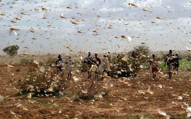 Nuvens de gafanhotos estão devastando campos na África Oriental