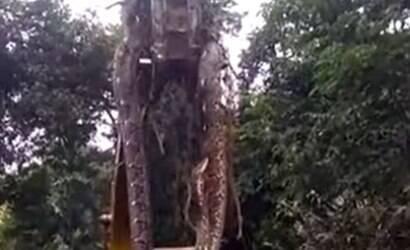 Cobra gigante é içada por guindaste em floresta tropical