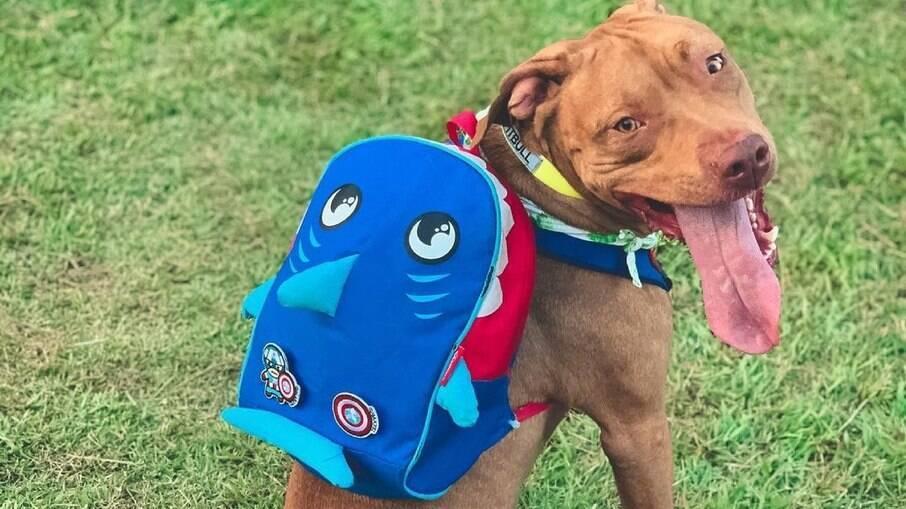 Sebastian, o pitibull de mochila, ganhou dia de festa em cachorrodromo