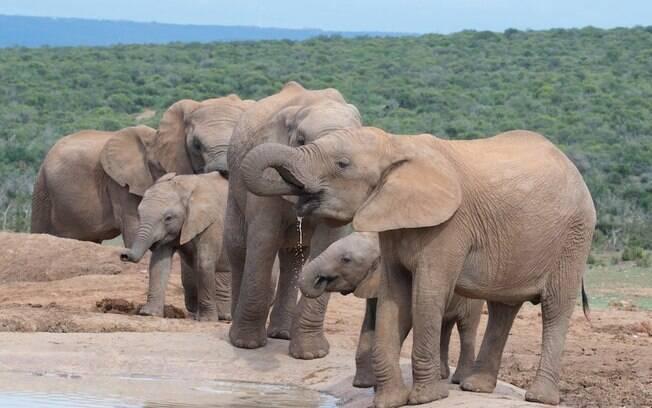 Ministra do Turismo do Zimbábue disse que o país tem, atualmente, 85 mil elefantes