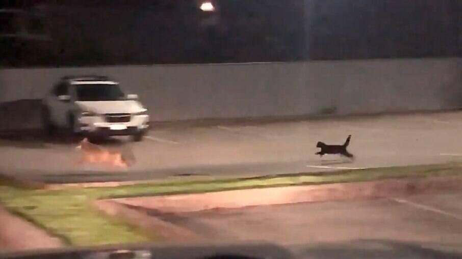 Gato preto persegue coiote em Port Moody, no Canadá