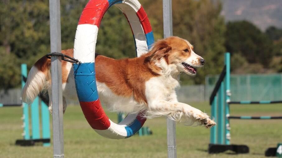 O agility para cães garante o exercícios físico que os animais necessitam