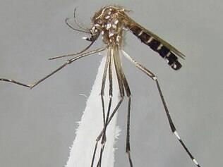A dengue é transmitida pela picada do mosquito Aedes aegypti