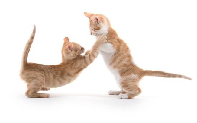 O barulho dos gatos brigando é bem alto