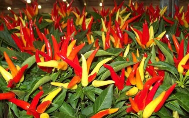 Pimenteira remete ao calor interno e ao fogo