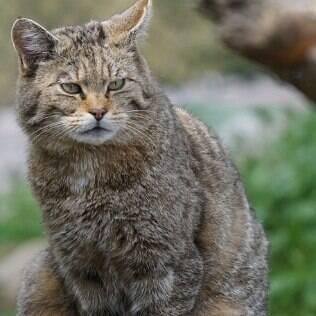 o gato selvagem africano foi o primeiro felino a sofrer a domesticação de animais.