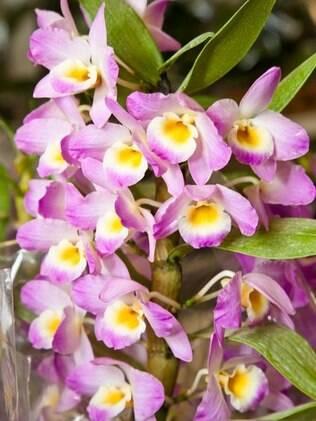Orquídea Catleia é mais resistente no outono