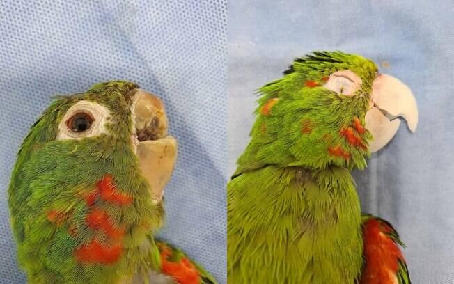 Papagaio resgatado ganha novo bico