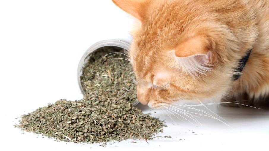 A erva do gato altera os sentidos dos felinos