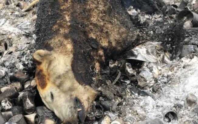Carcaça do urso polar foi queimada em um lixão