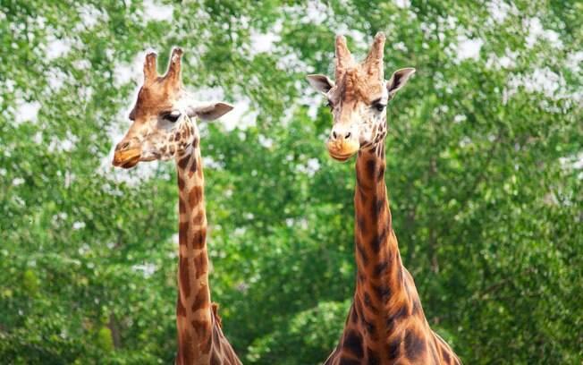 Girafa invade ensaio fotográfico de recém-casados de um casamento que ocorria na reserva Areena Riverside Resort, na África do Sul