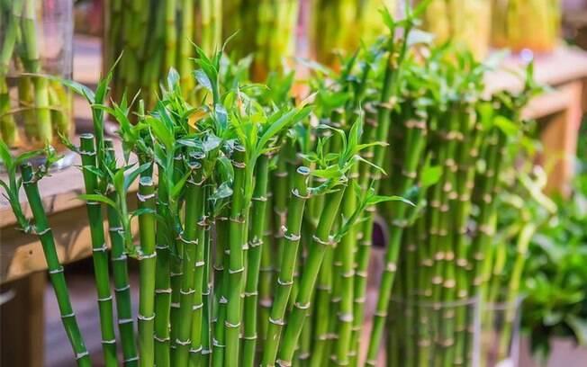 Bambu da sorte: a planta que atrai prosperidade para o seu lar