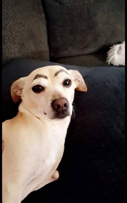 Cadela de Jessica Blevins com sobrancelha