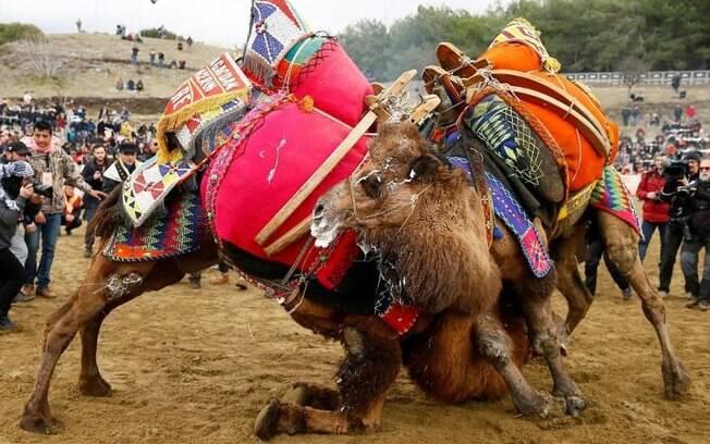 Brigas de camelos na Turquia tem mais de 2.400 anos de existência e nasceu entre tribos nômades do país