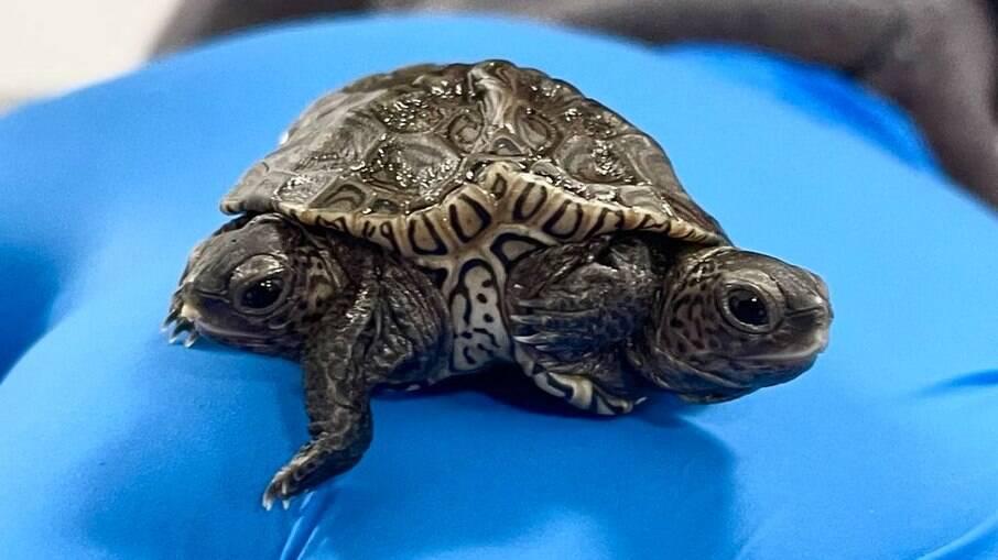 Tartaruga de duas cabeças é encontrada nos Estados Unidos