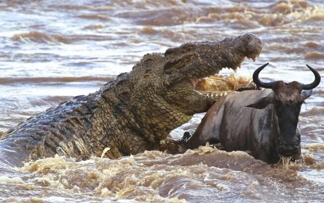 Crocodilo Gustave é tão temido pelo povo do Burundi que a mitologia local o aponta como um